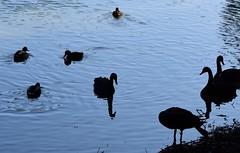 (:Linda:) Tags: germany bavaria franconia town coburg silhouette rosenau castle rosenaupark pond bird blackswan