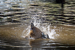 Cooling down (kailhen) Tags: duck flap water bird dawlish devon wildlife british nature reflection outdoors outside