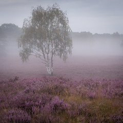Westruper Heide | Germany (wiscmic) Tags: baum bäume fog germany landschaft natur nature nebel sommer summer tree trees landscape bã¤ume halternamsee nordrheinwestfalen deutschland heidekraut naturschutzgebiet haltern heide westruperheide nsg nrw