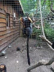 best_110 (OurTravelPics.com) Tags: best goldenheaded lion tamarins bestzoo