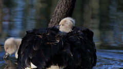 Black Swan and Cygnets (blachswan) Tags: ballarat victoria australia lakewendouree spring blackswan cygnusatratus cygnets blackswancygnet blackswancygnets water