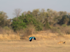 Blurr of the lilac-breasted roller in flight (Nanooki ) Tags: lilacbreastedroller zambia zambiamalawi2016 southluangwanationalpark africa