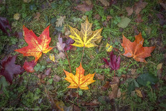 Maple Leaves (Chalky666) Tags: tree trees wood woodland maple acer leaves hampshire a3 painterly bramshott common autumn art