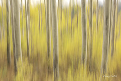 Aspen Blur (Lake Vermilion1) Tags: autumn yellow leaves forest fall foliage panorama colorado aspen aspentrees lakevermilionphotos nikon panning d810 reallyrightstuff gitzo trees outdoor