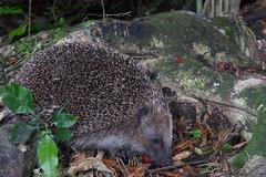Hedgehog (Erinaceus europaeus) and Maire tawaki (Eugenia marie) ? (Nga Manu Images NZ) Tags: erinaceuseuropaeus eugeniamaire fscientificnames feeding hedgehog mammals marietawakiswampmarie plantsandfungi trees