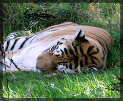 Tiger at Blair Drummond Safari Park. September 2016-001 (Tigeress blue) Tags: amurtiger siberiantiger tigress tiger blairdrummondsafaripark wendyminto bigcat cat