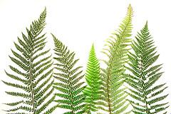 ferns ... (Sandra Bartocha) Tags: csandrabartocha fern ferns whitebackground myn green