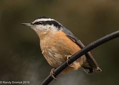 Yardbirds: Red-breasted Nuthatch (rdroniuk) Tags: birds smallbirds passerines nuthatches redbreastednuthatch sittacanadensis oiseaux passereaux sittelleàpoitrinerousse