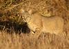 BOBCAT (sea25bill) Tags: bobcat lynxrufus carnivore wildlife animal nature morning sun field california cat