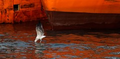 IMG_7683 Standing on water (Rodolfo Frino) Tags: wow animal fauna gull seagull fly flight flying inflight boat orangeboat bright niceweather color sea ocean water wing wings standingonwater seagullstandingonwater brown orange reflection reflections port mardelplata portmardelplata puertodemardelplata