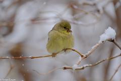 puffball goldfinch in the snow (brianeagar - busy & mostly offline) Tags: bird birdwatching utahbird nature wildlife animal utahnature utahwildlife utahanimal fuji xt2 fujixt2 finch yellow gold white snow winter december 2016 goldfinch lessergoldfinch