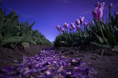 Moonlight Sonata (martijnvdnat) Tags: bluehour dutch netherlands sassenheim teylingen tulip bulb bulbfields color dutchculture earth evening flora flower flowerbulbs flowerfields green ground keukenhof light night perspective pink plant sky soil spring stars travel tulipfield tulips