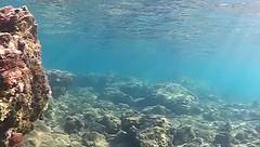 Muraena helena (Zatanen) Tags: mureena muraenahelena murne murna muraenidae parrotfish poisson mediterranean pesci fisk kala fish crete chania greece october2015