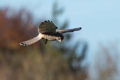 Kestrel ♀ (Shane Jones) Tags: kestrel bird birdinflight birdofprey raptor wildlife nature hunting nikon d500 200400vr tc14eii