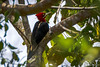 pica-pau-rei (Campephilus robustus) (Ana Carla AZ) Tags: piciformes lugares lidice rj aves picapaurei picidae campephilusrobustus birds picapaus