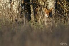 S95A0605 (Florian Schutt Photographie nature) Tags: renardroux