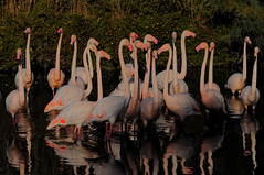 CREAVUE-EL PADRE PICTURE (thierrymuller) Tags: animal animaux animals elpadrepicture photo photographie mamanano france french frenchtouch flamingo flamantrose nikonpassion nature nikon color couleur camargue bird birds pinkfloyd