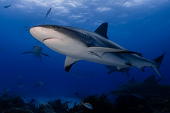 Caribbean reef shark - The Bahamas (lucien_photography) Tags: rouge shark requin caribbeanreefshark underwater sea ocean bahamas wildlife nature wetpixel blue eau reef coral fish