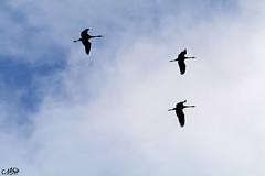 grues1 (neku.chou) Tags: oiseau bird plume haute marne lac du der france migration grues cendre