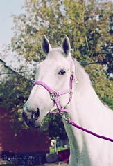Velensia3 (Tokari Karato) Tags: фотограф фотография конныйфотограф horse horses photo photographer photoghaphy dressage mare фото animal animals животное животные лошадь лошади sony stable equestrian moscow