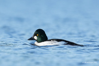 The other side of the common goldeneye