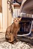 Luke (Katherine Ridgley) Tags: toronto cat feliscatus felissilvestriscatus felis felidae carnivore carnivora mammal mammalia animal animalia purebred purebreed purebredcat abyssinian abyssiniancat maleabyssinian malecat ruddyabyssinian ruddy usualabyssinian usual pet cute
