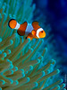 Clownfish in Bali (Pablo.Sarasa) Tags: type underwater indonesia bali places clownfish fish reef sea ocean clown anemone anemonefish wildlife diving scuba dive marine