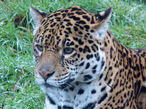 South Lakes Zoo - sri lankan leopard (5)