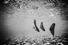 20150905-DSC_3161.jpg (d3_plus) Tags: 1nikkorvr1030mmf3556pdzoom 1030mm 1030mmpd beach beachhirizo diving hirizo j4 nikonwpn3 nikon1 nikon1j4 skindiving snorkeling underwater wpn3 apnea fish izu japan minamiizu misakafishingport nakagi scenery sea shizuoka sky waterproofcase     1