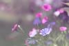 Viscaria (haberlea) Tags: garden viscaria viscariaangeleyes flowers pink blue moody soft nature plants mygarden pastel pastels green