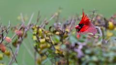 cardinal_8338 (JGKphotos) Tags: d7100 johnkunze bird birds cardinal cardinals