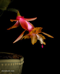 Christmas Cactus in bloom (DaveHuth) Tags: bloom christmascactus diningroom flower home houghton houseplant livingroom ny plant