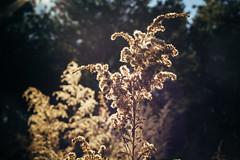 Weed (MikeyMcInnis) Tags: smith lake weed cotton stars astrology junkyard fall autumn alabama jasper walker county