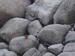 カワセミ2016-11-28 15.14.48-2-1 (Polotaro) Tags: mzuikodigital45mmf18 bird nature olympus epm2 pen 鳥 野鳥 自然 オリンパス ペン ズイコー zuiko カワセミ 11月