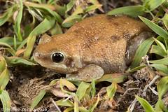 Buzzing treefrog (Litoria electrica) (Stephen Zozaya) Tags: litoriaelectrica litoria hylidae