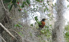 Turdus migratorius --  Robin 094 (2) (Tangled Bank) Tags: wild nature natural alachua county florida tree spanish moss flower bird turdus migratorius robins cnty 091 2