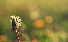 Have you ever tried to catch the light? (aquigabo!) Tags: montreal nature flora plant flower life aquigabo bokeh dof depthoffield dandelion light blur focus green yellow canon eos rebel t5i 700d dsrl freedom sunset composition park summer macro details