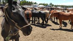 Esperando (feder77) Tags: festival caballo animal barbarie