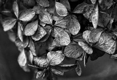 Winter Decorations (AnyMotion) Tags: hydrangea hortensie gartenhortensie hydrangeamacrophylla blossom blüte dry trocken 2016 plants pflanzen anymotion nature natur blumen floral flowers frankfurt 7d2 canoneos7dmarkii macro makro garden garten bw blackandwhite sw makroaufnahmen winter hiver invierno