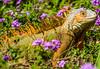 Iguana, El Salvador (Rodrigo Montalvo Photography) Tags: iguana iguanaverde nikon nikond500 nikon200500mmf56 rodrigomontalvo nature naturephotography naturaleza el salvador elsalvador antiguocuscatlan jardinbotanicodelplandelalaguna jardinbotanico botanicalgarden lizard reptile reptil