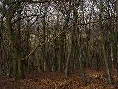 Wendover escarpment (SimonJX) Tags: saplings autumn winter woods wood forest leaves trees escarpment