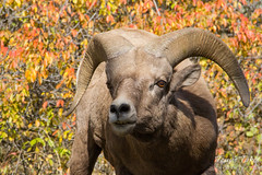 A young ram makes a face