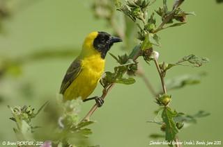 Slender-billed Weaver, Tisserin de Pelzeln (Ploceus pelzelni) - So-Ava, BENIN - 2011-09-13
