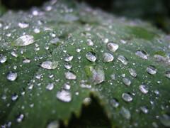 after the rain (preze) Tags: plant green water rain leaf drops wasser pflanze grn waterdrops blatt regen wassertropfen tropfen nikoncoolpixp5100
