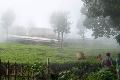Fog and mist at Tea estate in Coonoor (Sasi kiran) Tags: india mist fog tamilnadu ooty coonoor teaestate