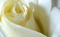Fibonacci Rose (Ben Wightman) Tags: fibonacci macromondays