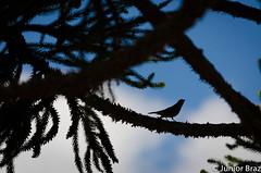 The Bird (JunotPhotography) Tags: blue brazil sky tree bird landscape photography nikon pssaro silhouete paisagem cu junior brazilian brasileiro fotgrafo braz d610 junot brasileiro silhoeta nikond610 junotphotography