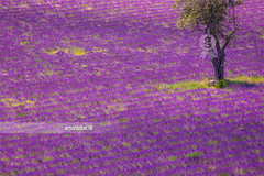 Lavender. (arturii!) Tags: trip travel summer france color tree nature beauty composition rural wow landscape town amazing nice interesting holidays europe alone tour purple superb farm magic awesome great lavender roadtrip row diagonal route crop stunning bloom manmade viatge provence roadside agriculture vacations impressive missle gettyimages provenza isolate aligned provena smeel arturii arturdebattk canonoes6d