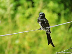 Black_drongo_02 (Jyotiprasads) Tags: birds commonbirds birdsofodisha odishabirds