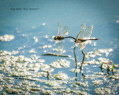 Day 293- Fly United! (Wishard of Oz) Tags: pond dragonflies ducks reccenter day293 lynnhaven project365 2014yip 365the2014edition 365in2014 24852557 20oct14